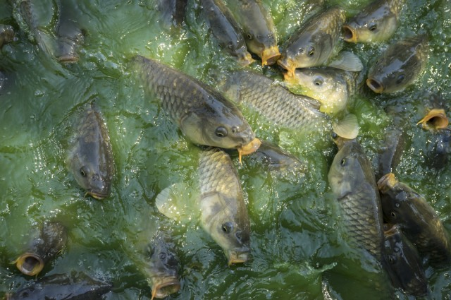 Conservationists Want To Release Carp Herpes Virus In Australia To Curb Invasive Fish
