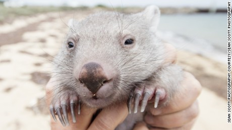 The position of 'Chief Wombat Cuddler' is open