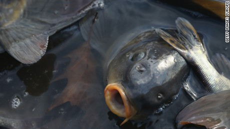Australia wants to wipe out carp with herpes