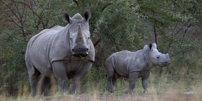 80 African Rhinos May Fly To Australia To Escape Poachers