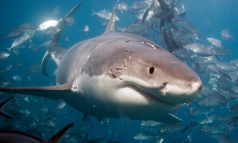 Great white shark suspected of killing Perth diver to be hunted