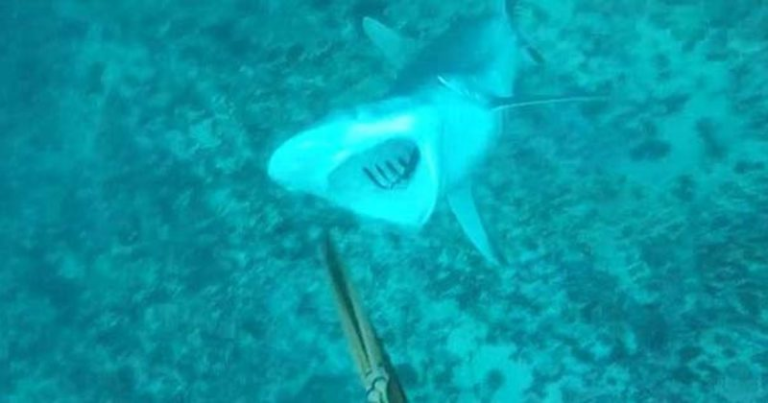 This Is Why You Don't Mess With Sharks…Watch A Spearfisher Get Attacked On Camera