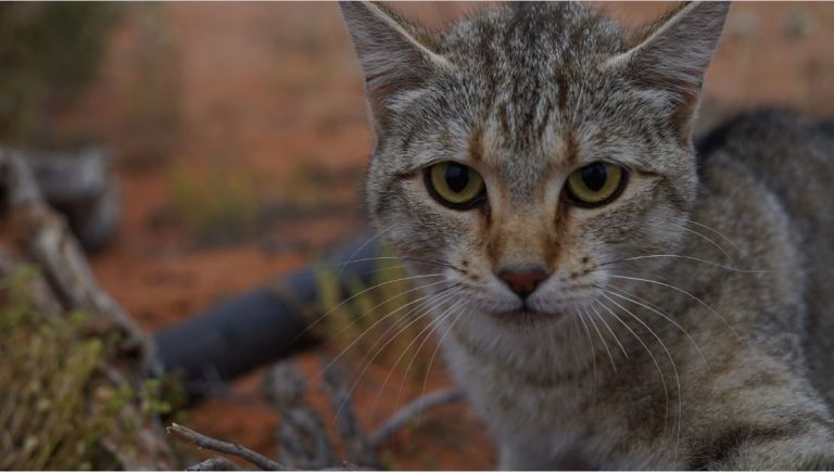 Catastrophe! Feral cats have invaded nearly 100% of Australia