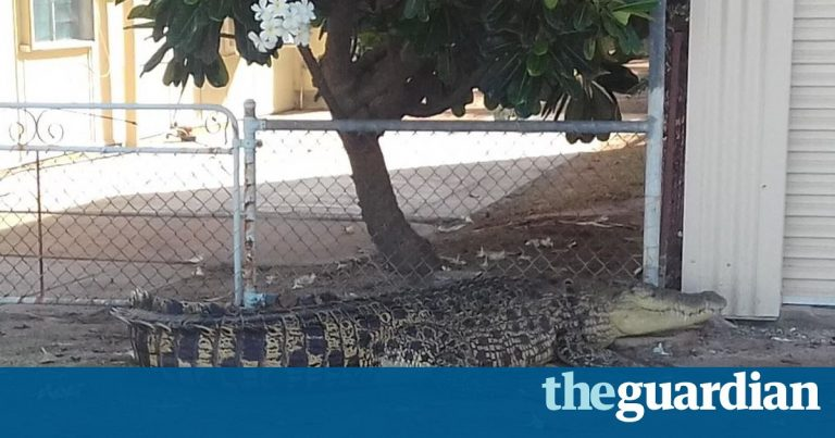 Huge crocodile trapped by wheelie bin barricade after appearing in Queensland backyard